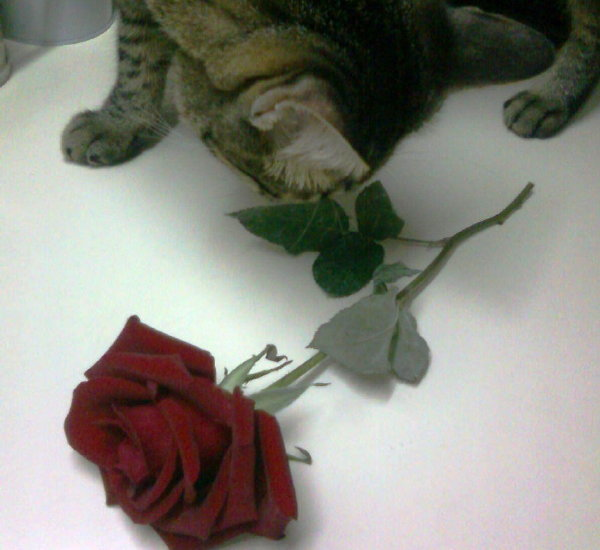 cat eating rose