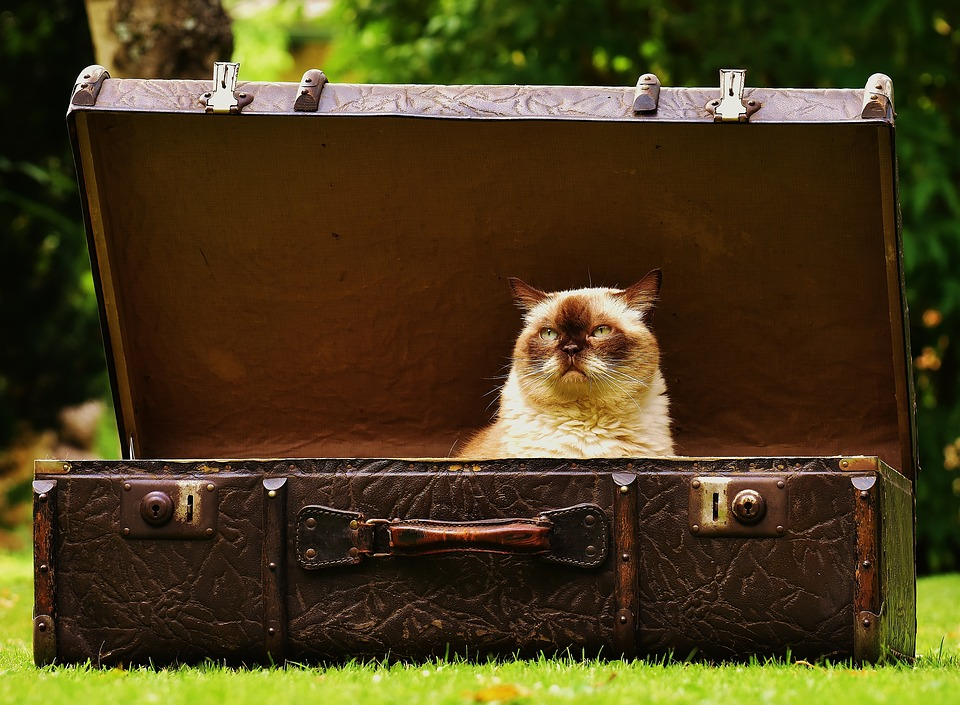 old cat in luggage